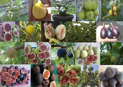 Ficus carica, Edible Fig fruit tree plant - Yummy16 types U choose - Seeds