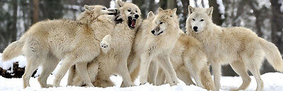 New GROUP OF SNOW HUNTER Arctic Wolves love snow