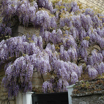 Climbing Blue Wisteria chinensis Tree in a 3L Pot approx. 1.25M tall