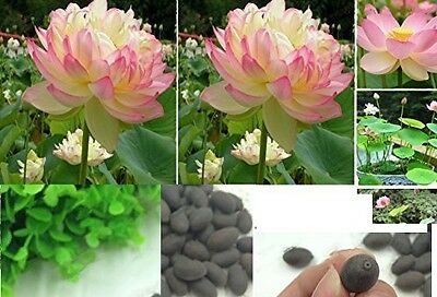 6x Victoria Amazonica big water lilly plant seeds Garden New Rare in De#233