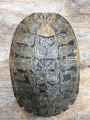Turtle Shell, Red Ear Slider Turtle Shell, 9.5 Inches