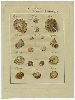 Antique Print-HELIX SHELLS-HELICES-COLOURED-PLATE 126-Martini-Chemnitz-1786