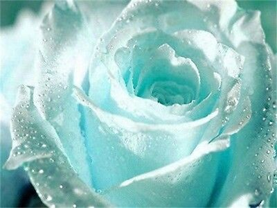 50Pcs Light Blue Rose Seeds Romantic Love Beautiful Climber Fragrant Flowers h2