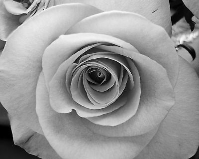 Rose / Black & White Flower 8 x 10 / 8x10 GLOSSY Photo Picture