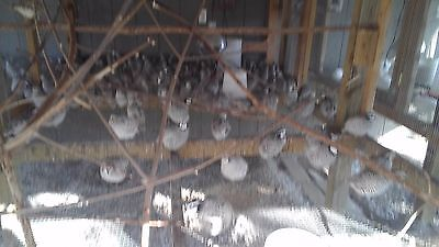 25 snowflake quail hatching eggs