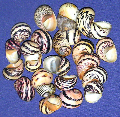 "Nerita Dubia Shells ~ 1/2""-3/4"" Seashells Jewelry Supply Select 10/20/30 Pcs."