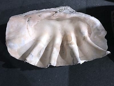 Fossil Giant Clam shell 55+ lbs 26 inch wide. true fossil bone. US bids only