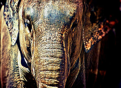 ELEPHANT - Beautiful Close-Up of Face - Canvas Print Poster 12X16""
