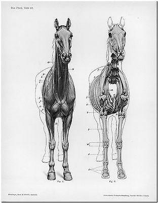Anatomy of Horse Front by Hermann Dittrich Canvas Print Poster  8X12""