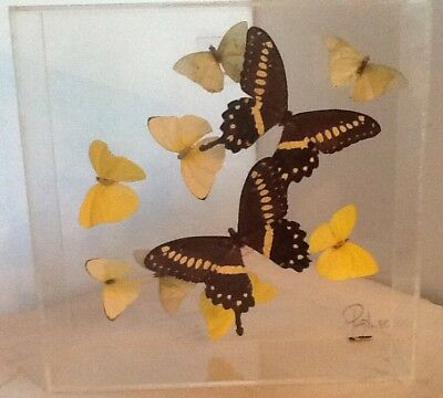 Real Butterflies Mounted In Clear Acrylic Lucite  Display Case,Payton, 86