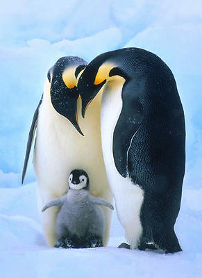 PENGUINS - Parents with Chick - CUTE! - Canvas Print Poster 8X10""