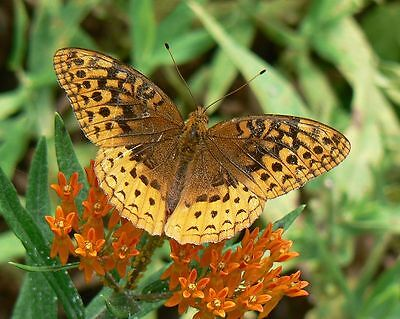 100 SEEDS BUTTERFLY MILKWEED Asclepias tuberosa Native Perennial for Monarchs