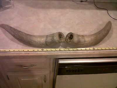 """32"""" Unfinished Organic Raw Cow Horns Steer Horns Craft Project Missouri Ozarks"""