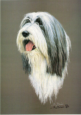Bearded Collie Head Study Limited Edition Art Print by UK Artist Sue Driver