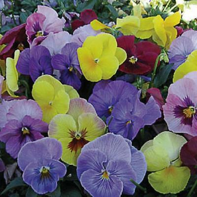 Viola Hiemalis - Winter Flowering Pansy - 100 seeds