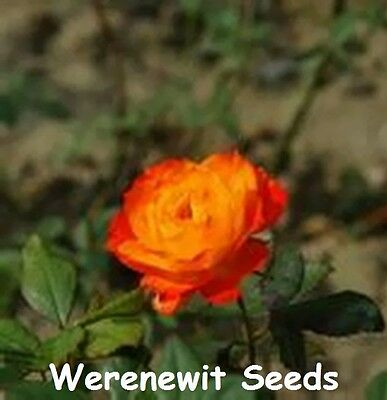 20 x NEW (MINIATURE) SMALL DIAMONDS ORANGE HEART-RED OUTER ROSE SEEDS.FREE POST.