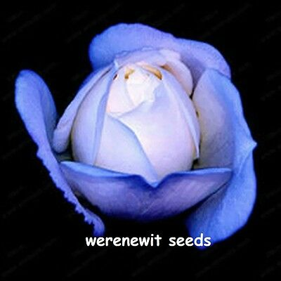 20 X Strong Blue Dragon Rose Seeds,fresh Stock,free Post, Aussie Seller