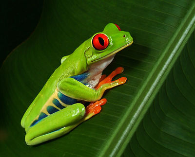 """Gorgeous RED EYED TREE FROG - Canvas Print Poster 8X12"""""""