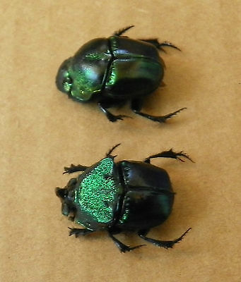 Phanaeus Quadridens M&f Pair 17-18Mm. Unmounted,w.data S.e.az. Scarab Coleoptera