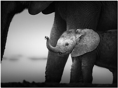 """Baby Elephant High Quality Canvas Print Poster 12X16"""""""