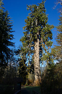 1 Sitka Spruce 2-3ft Tall In 2L Pot, Picea Sitchensis, Worlds Largest Spruce