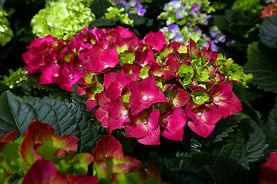 Hydrangea macrophylla 'Teller Red' 1-2ft Tall  In 2L Pot With Stunning Flowers