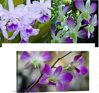 30x CATTLEYA ORCHIDS SEEDS 3 Varieties Room Garden Flower Plant Novelty #22