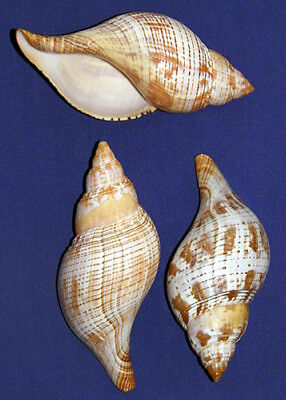 "True Tulip Fasciolaria Tulipa Shells~4""-4-1/2""~Seashell Craft Select 1/2/3 Pcs."