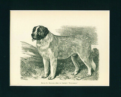 Dog Print 1886 Saint St Bernard Dog named Plinlimmon ANTIQUE