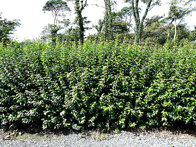 20 Green Privet Plants 2-3ft,Evergreen Hedging 60-90cm,Grow a Quick,Dense Hedge