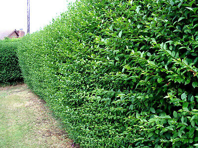 30 Green Privet Plants 2-3ft,Evergreen Hedging 60-90cm,Grow a Quick,Dense Hedge
