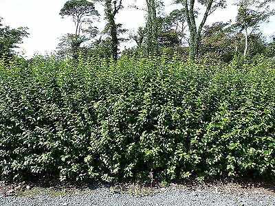 7 Green Privet Plants 3ft Tall, Evergreen Hedging, Grow a Quick, Dense Hedge