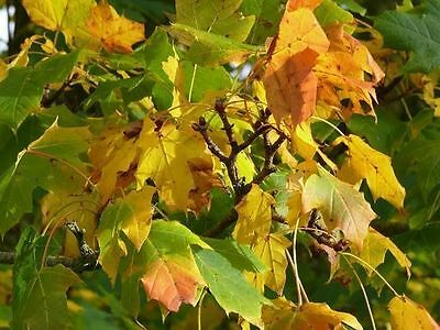 1 Norway Maple Tree 60 90cm Acer Platanoides Hedging Stunning Autumn Colours