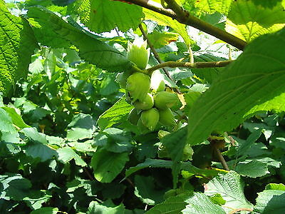 20 Hazel Plants,Flowering Edible Nut Hedge,2-3ft Wildlife Friendly Hedge 60-90cm