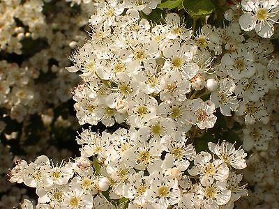 100 Hawthorn Hedging Plants, 3-4ft Hedges, Native Hawthorne,Quickthorn,Mayflower