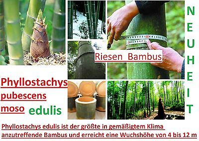 15x Moso Bamboo Giant Bamboo Seed Fresh Seeds Garden Novelty Plant #281