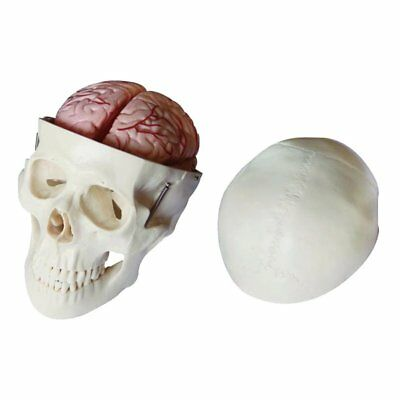 Deluxe Life Size Human Skull With 8 Part Brain Anatomical Model