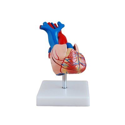 Anatomical Life Size Heart Model - Medical Training Aid