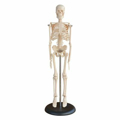 Anatomical Skeleton Human Model With Stand Medical Learn Aid Anatomy UK