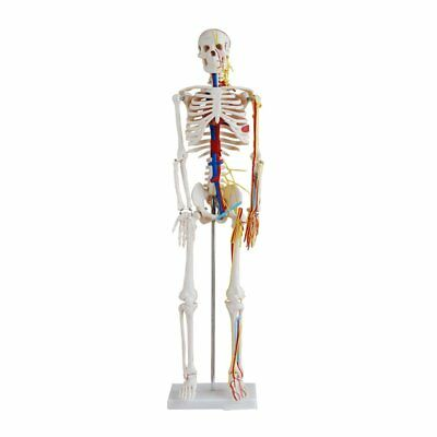 Skeleton With Nerves & Blood Vessels - 85cm - Medical Training Aid