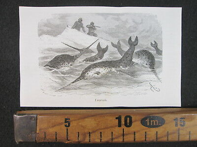 1876 Polo Nord North Pole Caccia Narvalo Hunting Antica Stampa Engraving D407