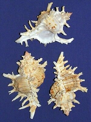 "Murex Chicoreus asianus Shells 3-1/2 ""~ Craft Supply Seashells~Select 1/2/3 Pcs."
