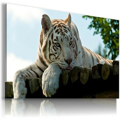 WHITE BENGAL TIGER Wild Animals Canvas Wall Art Picture Large Sizes  AN4 X