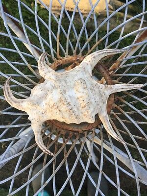 LARGE CHIRAGRA SPIDER CONCH seashell 8 Inch