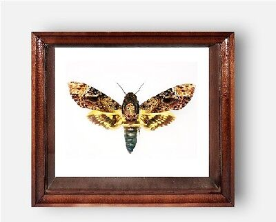 Real framed DEATH'S HEAD Moth in the movie silence of the lambs....