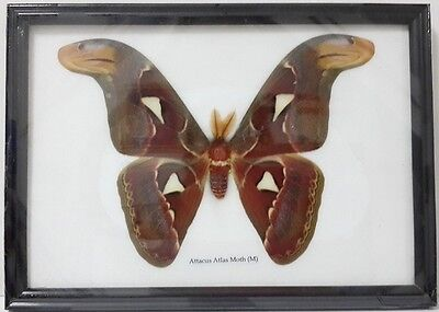 Attacus Atlas Moth (M) Butterfly Real Taxidermy Insect Framed Display Mounted