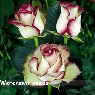 20 x NEW LIGHT GREEN ROSE WITH PURPLE EDGE ROSE BUSH FLOWER SEED,FREE POST