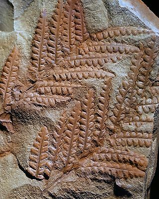 Big museum quality 3D preserved pre dinosaur fossil fern Asterotheca micromilton