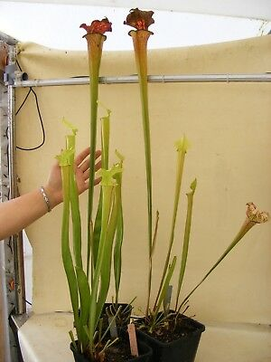 Carnivorous Plant - Sarracenia x moorei (IS xM C1) big plants stock reduction.