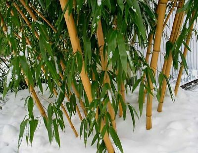 100+ fresh Chinese Timber Bamboo Seeds Phyllostachys Vivax - hardy +instructions